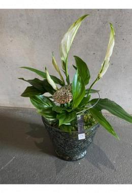 Spathyphillum Pflanzen Arangement im Glas DM 15