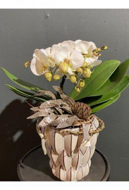 Orchidee im Keramikgefäss H 40 / DM 18