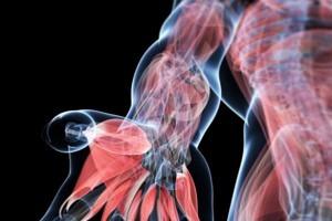 Anatomie palpatoire du système locomoteur